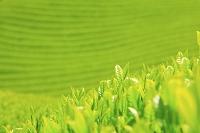 京都府 新茶の茶畑