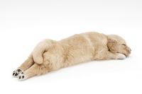ゴールデンレトリバー 寝ている仔犬