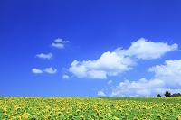 福島県 布引高原 ヒマワリ