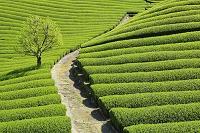京都府 新茶の茶畑と柿の木