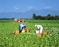 長野県 レタスの収穫