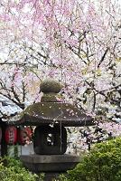 京都府 雨宝院 紅枝垂れ桜と石灯籠