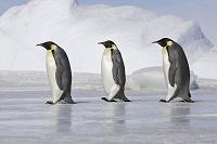 南極 列になって歩くコウテイペンギン