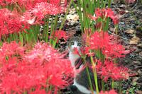 埼玉県 深山の花園 ヒガンバナと猫
