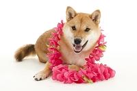 花飾りをしている柴犬