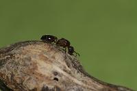 虫こぶ内部で越冬したアリ
