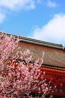 京都府 上賀茂神社 早咲きの桜と楼門