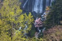 層雲峡 山桜咲く銀河の滝