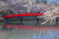 青森県 桜咲く弘前城の西堀