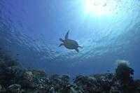 フィリピン セブ島 アオウミガメ