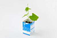 ツルレイシ 牛乳パックを利用した育苗の様子 6/7 子葉と本葉の成長