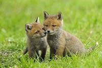 ドイツ ヘッセン 赤狐の子狐2匹