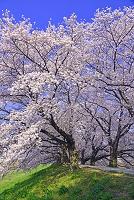 京都府  背割堤