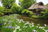 京都府 梅宮大社 咲耶池に咲く花菖蒲と池中亭茶室