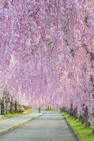 福島県 日中線記念自転車道のしだれ桜