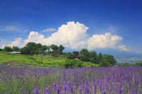 長野県 上田市 信州国際音楽村のラベンダー畑