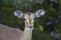 南アフリカ共和国 クルーガー国立公園 若いインパラ