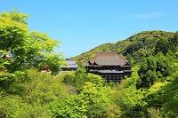京都府 清水寺 子安塔から望む新緑の本堂舞台