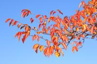 サクラ 紅葉した枝先の様子