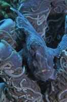 フィリピン セブ島 擬態するオオモンカエルアンコウ