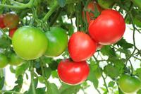 高知県 ハウス栽培のトマト