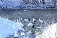 北海道 霧氷の川とタンチョウ鶴