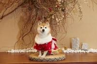 着物の豆柴犬