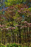 蝦夷山桜とブナ新緑