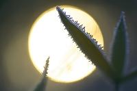 霜の降りた笹と太陽