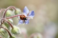 てんとう虫とボリジの花