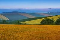 北海道 朝の麦畑