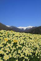 長野県 中央アルプスの山並みと水仙の群落