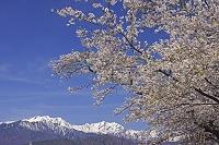 長野県 桜と爺ヶ岳左と鹿島槍ヶ岳右の山
