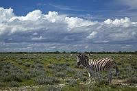 ナミビア エトーシャ国立公園 シマウマ
