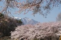 山梨県 桜の八ヶ岳山麓より甲斐駒ヶ岳