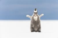 コウテイペンギンの子供