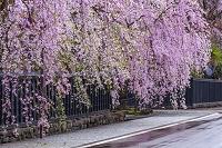 秋田県 春の角館 桜