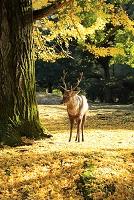 奈良県 秋の奈良公園 イチョウと鹿