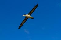 聟島 青空を飛ぶアホウドリ