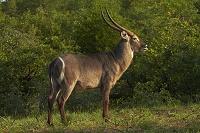 南アフリカ共和国 クルーガー国立公園 雄のウォーターバック