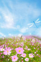 コスモスの花が咲く丘