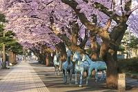 青森県 朝陽に照らされた官庁街通りの桜並木