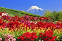 日本 静岡県 ツツジ咲く庭園と一番茶の茶畑と富士山
