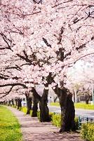 東京都 満開の桜並木と遊歩道