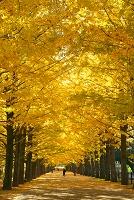東京都 イチョウ並木の黄葉