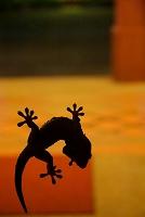 カンボジア トッケイヤモリ