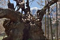 山梨県 甲斐駒ヶ岳と神代桜
