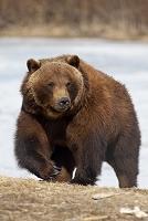 アメリカ アラスカ 成年の雌ヒグマ