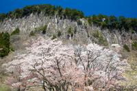 奈良県 桜 屏風岩