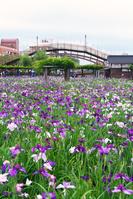茨城県 前川あやめ園